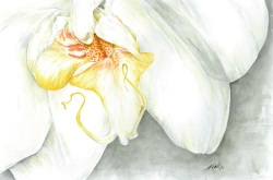 White Orchid, watercolour, 2011