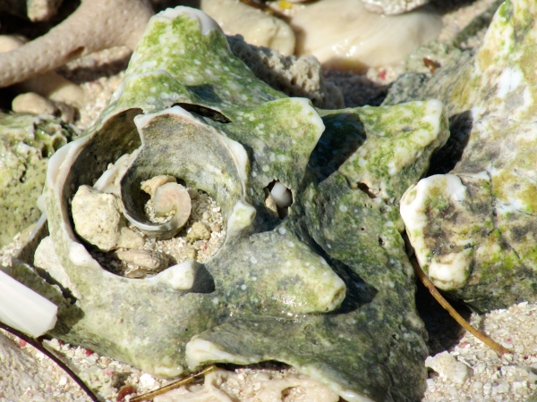 Old and worn out conch shells on the shore of French Cay.